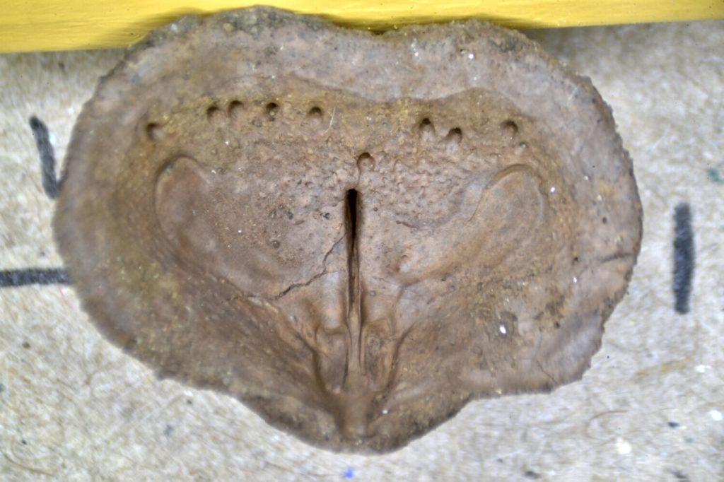 Brachiopod Steinkern