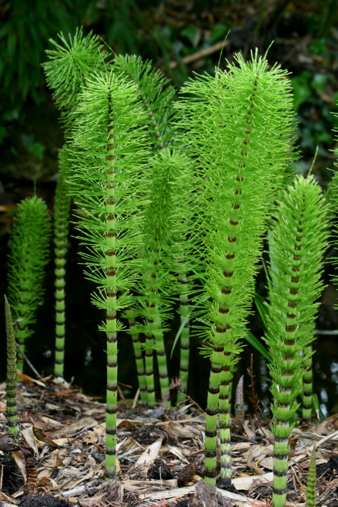 Equisetum, a modern horsetail by Wikipedia User Rror