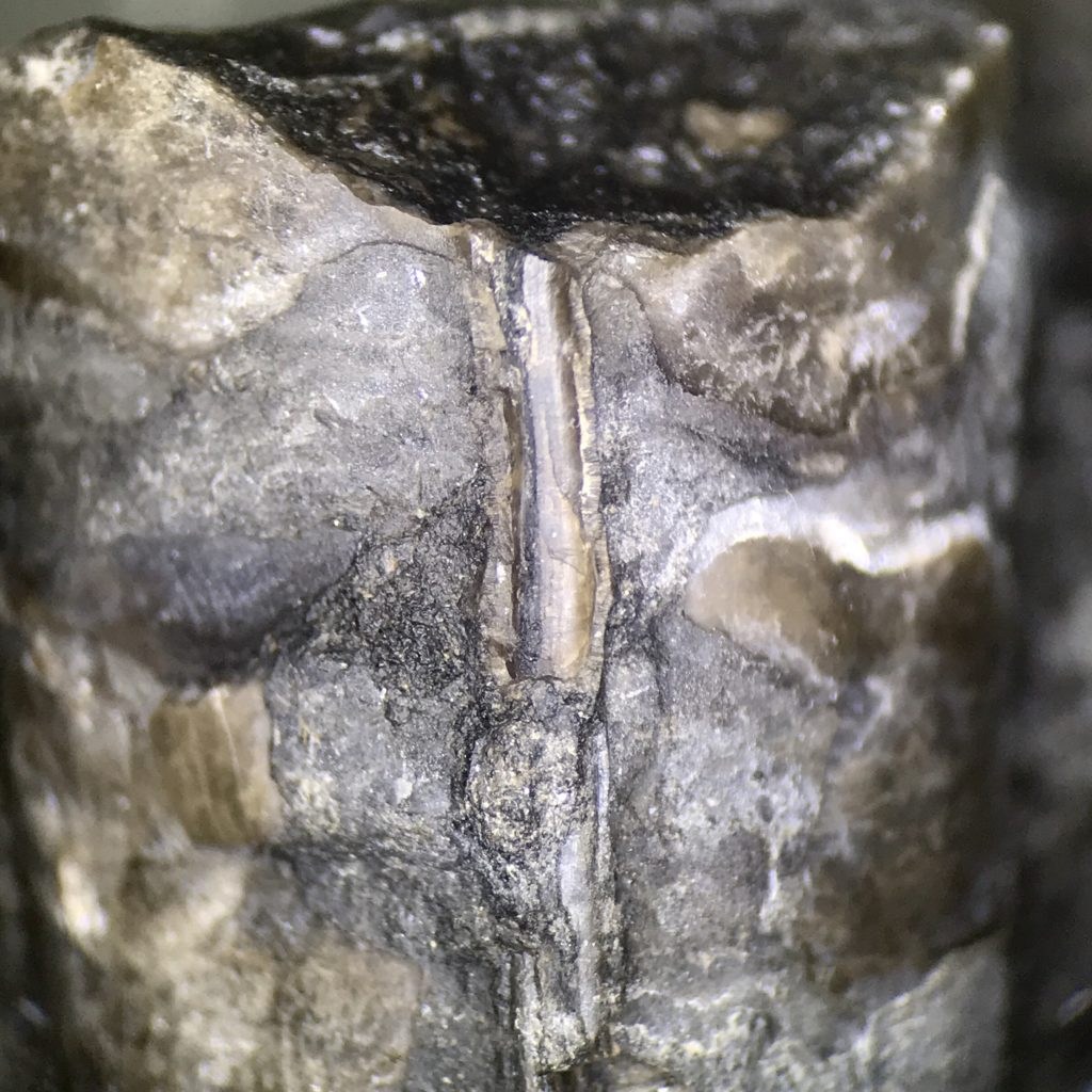 Cephalopod found in Pennsylvanian Limestone