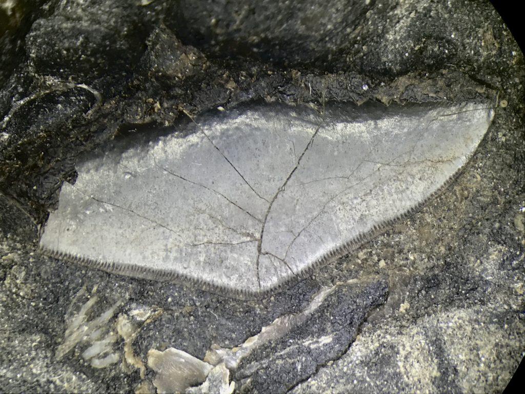 Pennsylvanian Petalodus Tooth