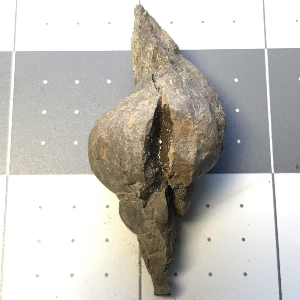 Shansiella, a Gastropod