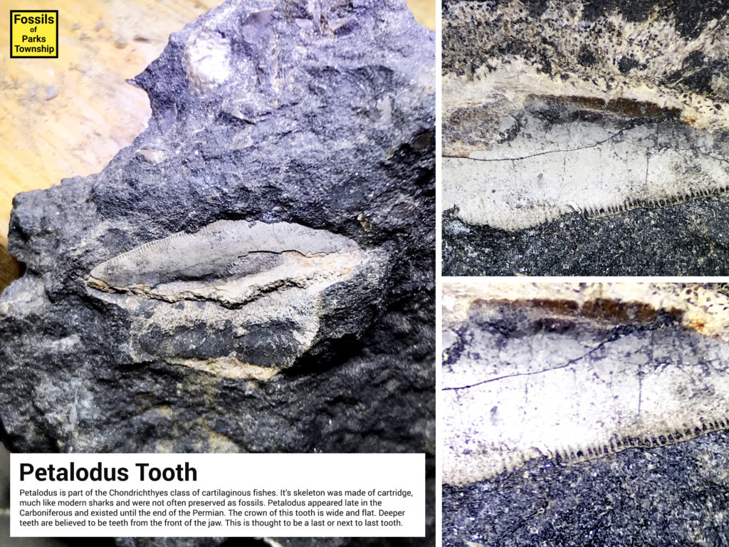 Information Sheet for Petalodus Tooth