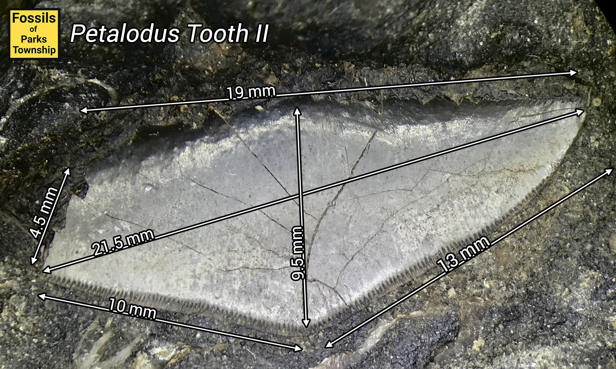 petalodus-tooth-II-measurements.jpeg