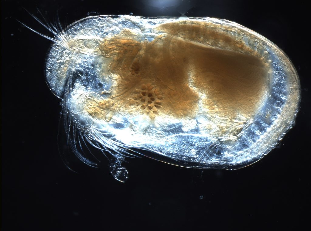 Photo of a modern Ostracod.