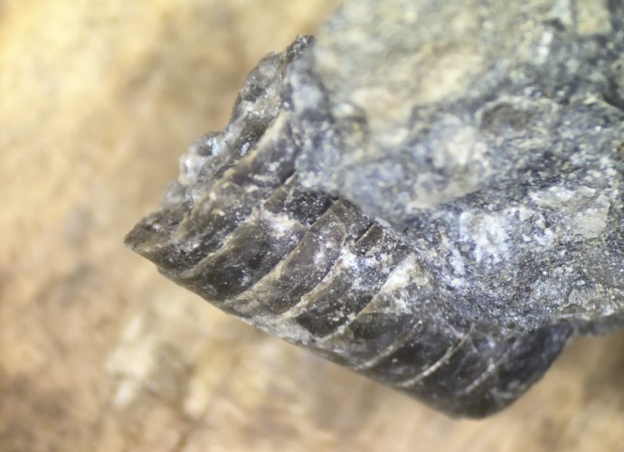 Pseudorthoceras side view embedded in limestone