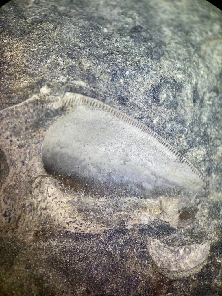 Petalodus Tooth on limestone microscopic view