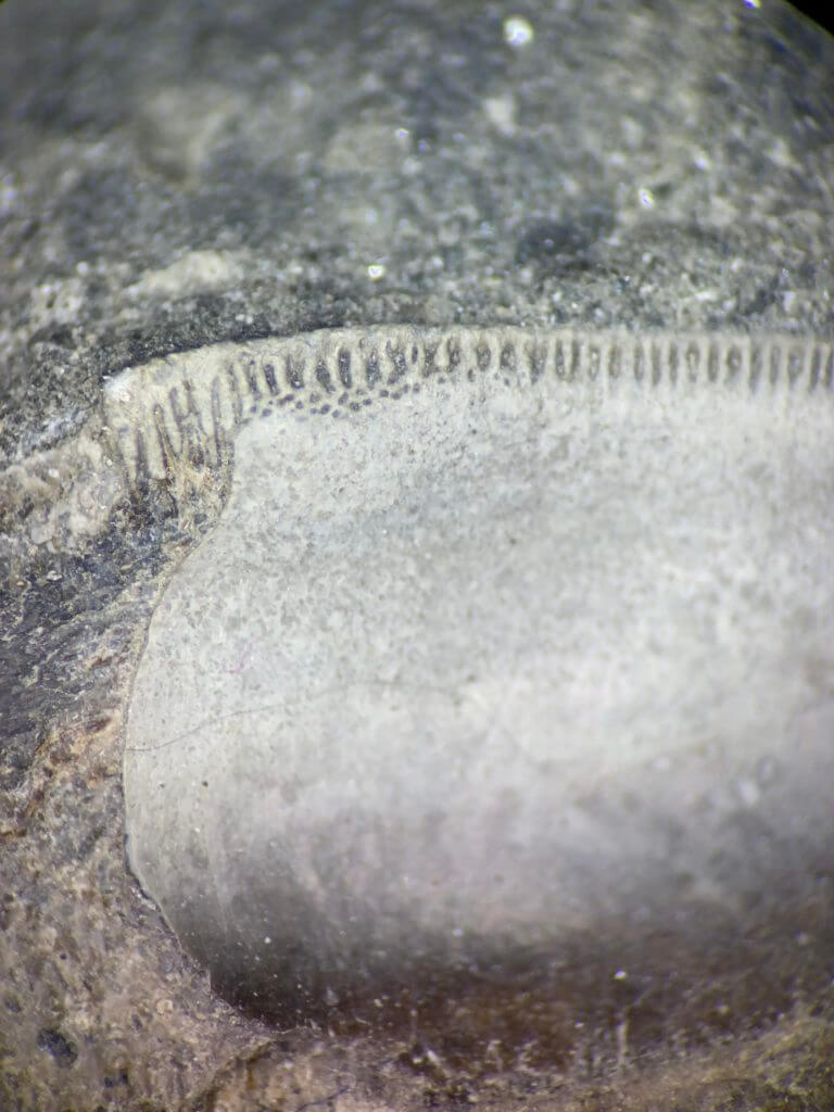 Petalodus Tooth serrated edge microscopic view