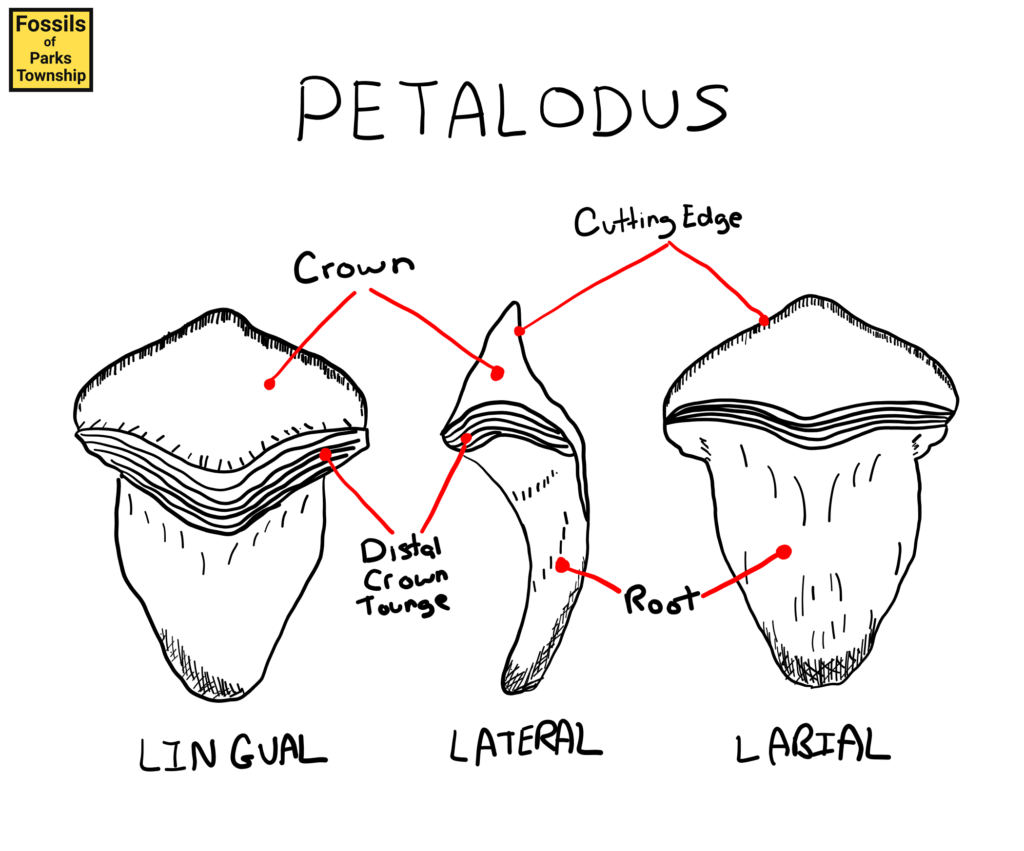 Petalodus Tooth Anatomy