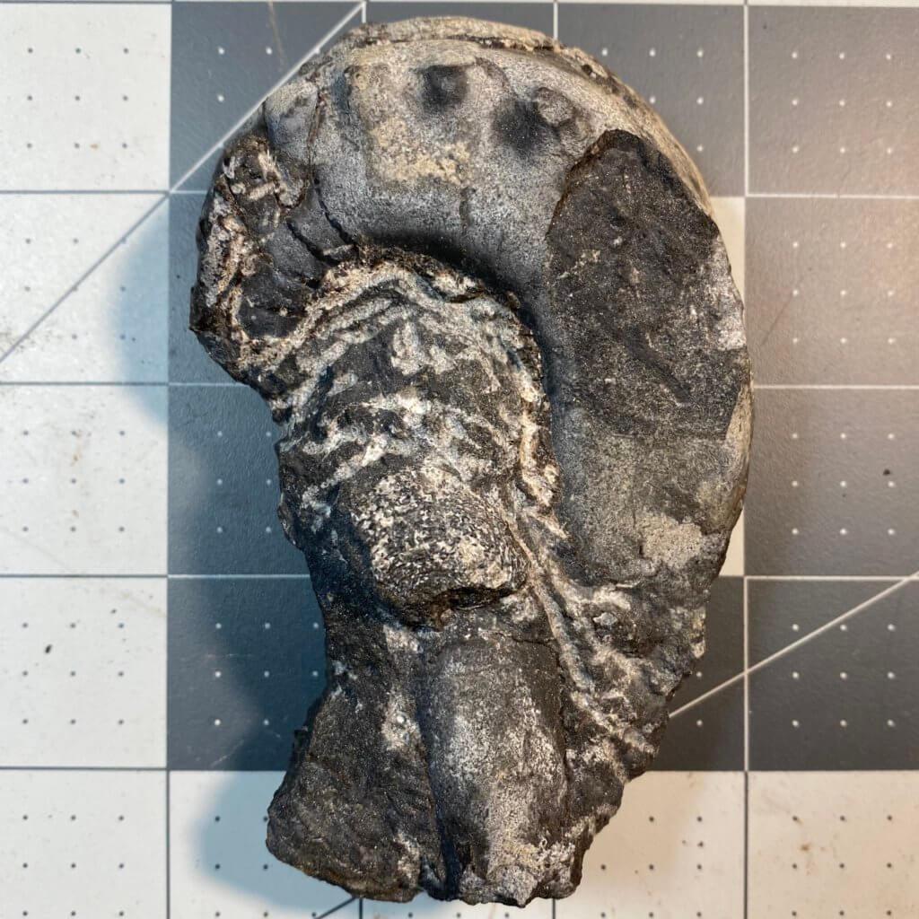 Metacoceras specimen