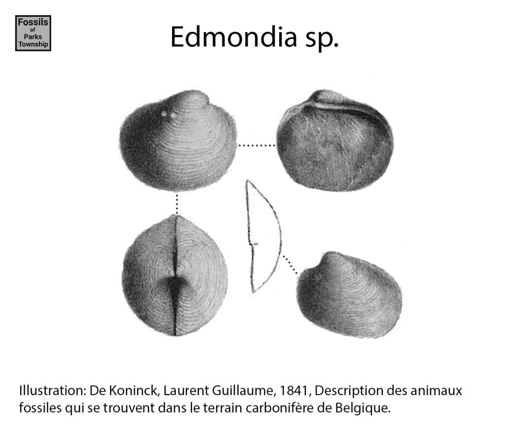 Edmondia sp.