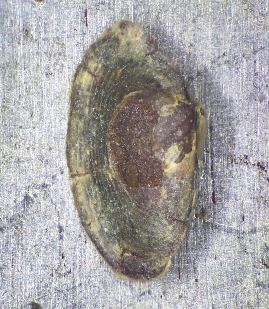 Paleoneilo