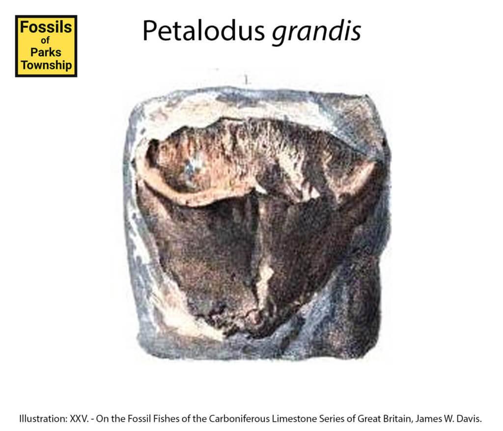 Petalodus grandis