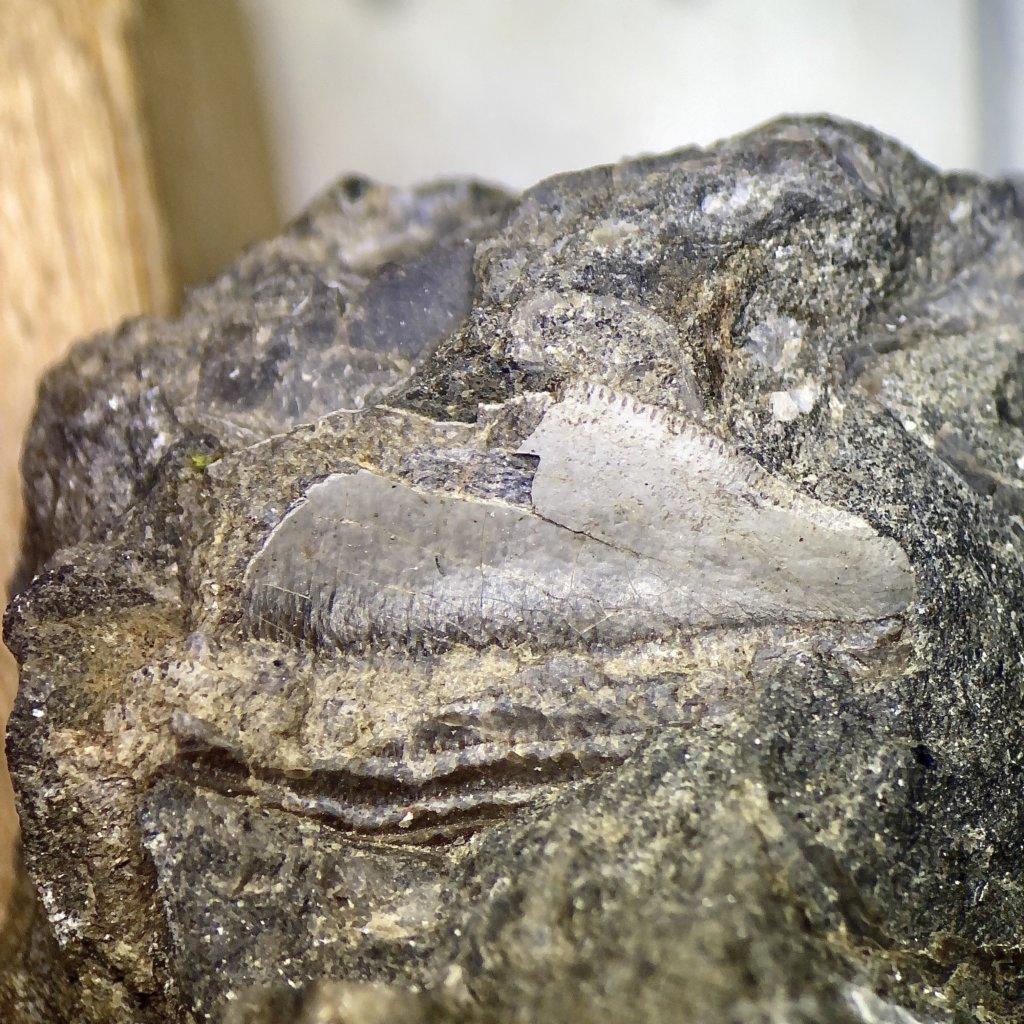 Petalodus Tooth V - Side B