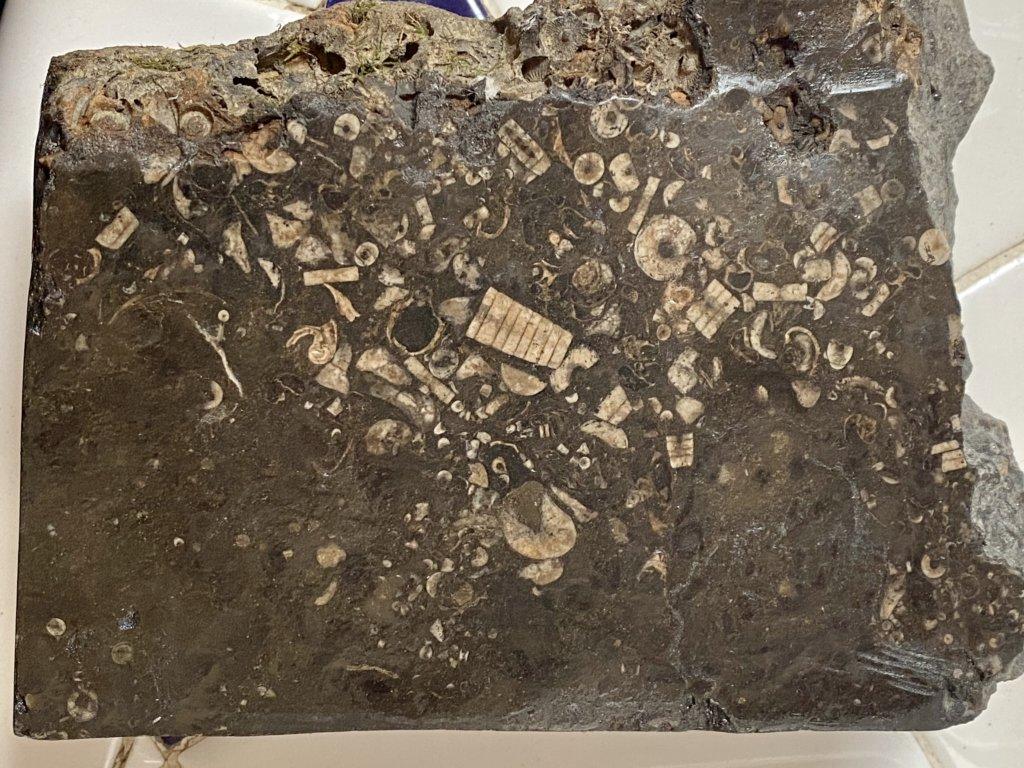 Polished piece of Brush Creek limestone