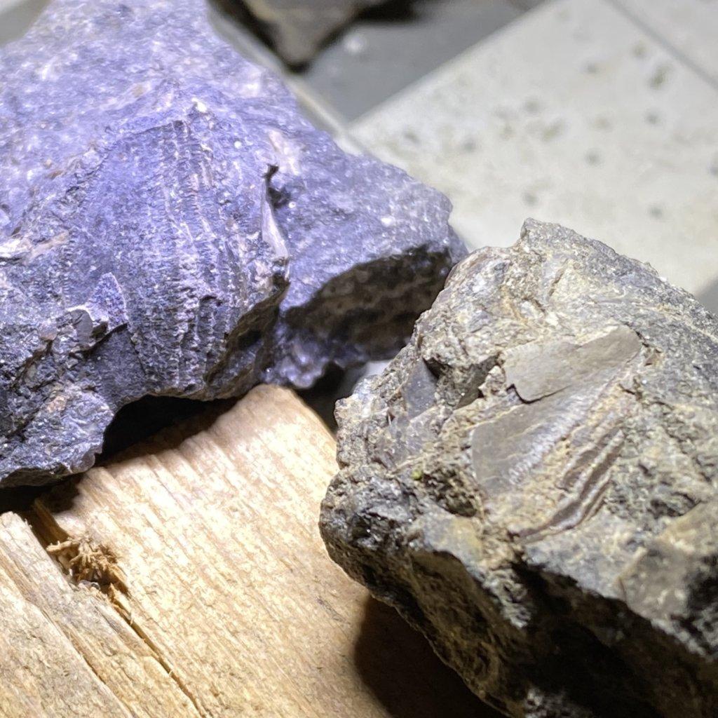 Two parts of Petalodus
