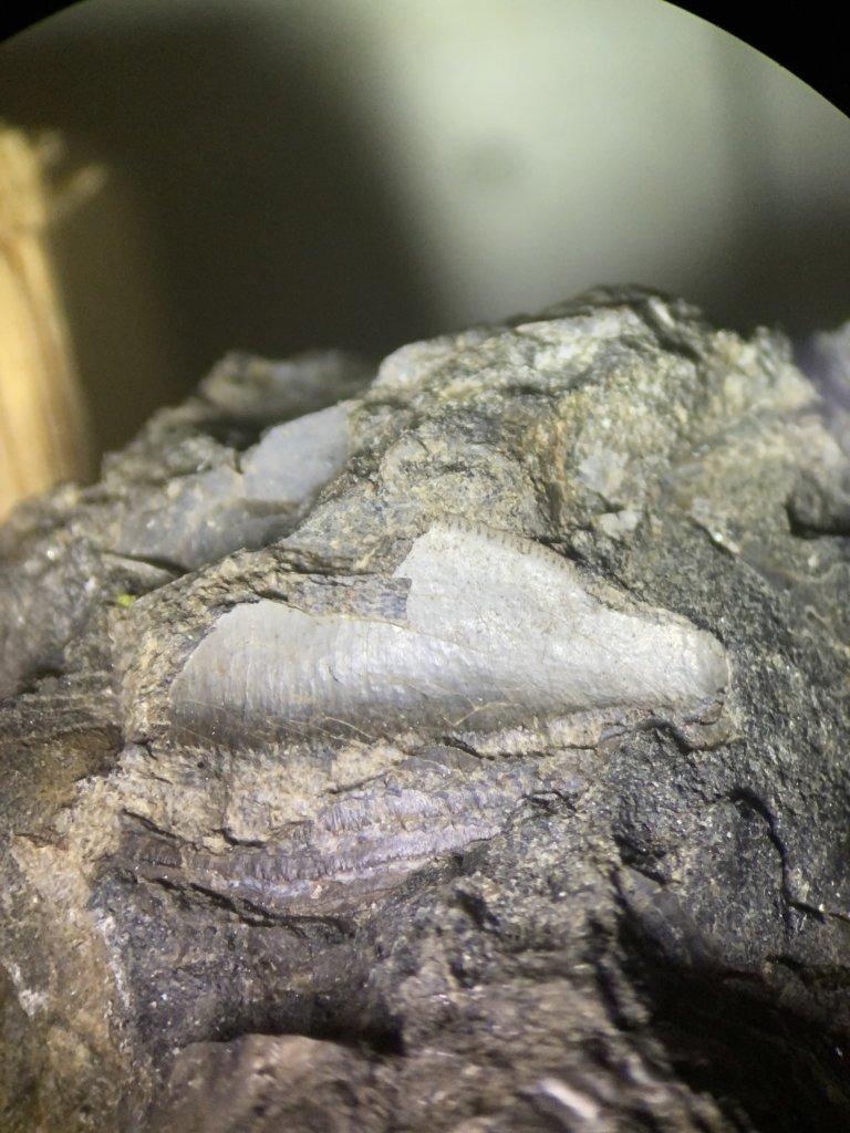 Petalodus Tooth