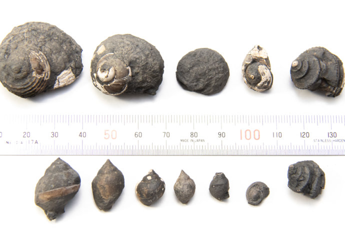 Gastropods from Pine Creek Limestone