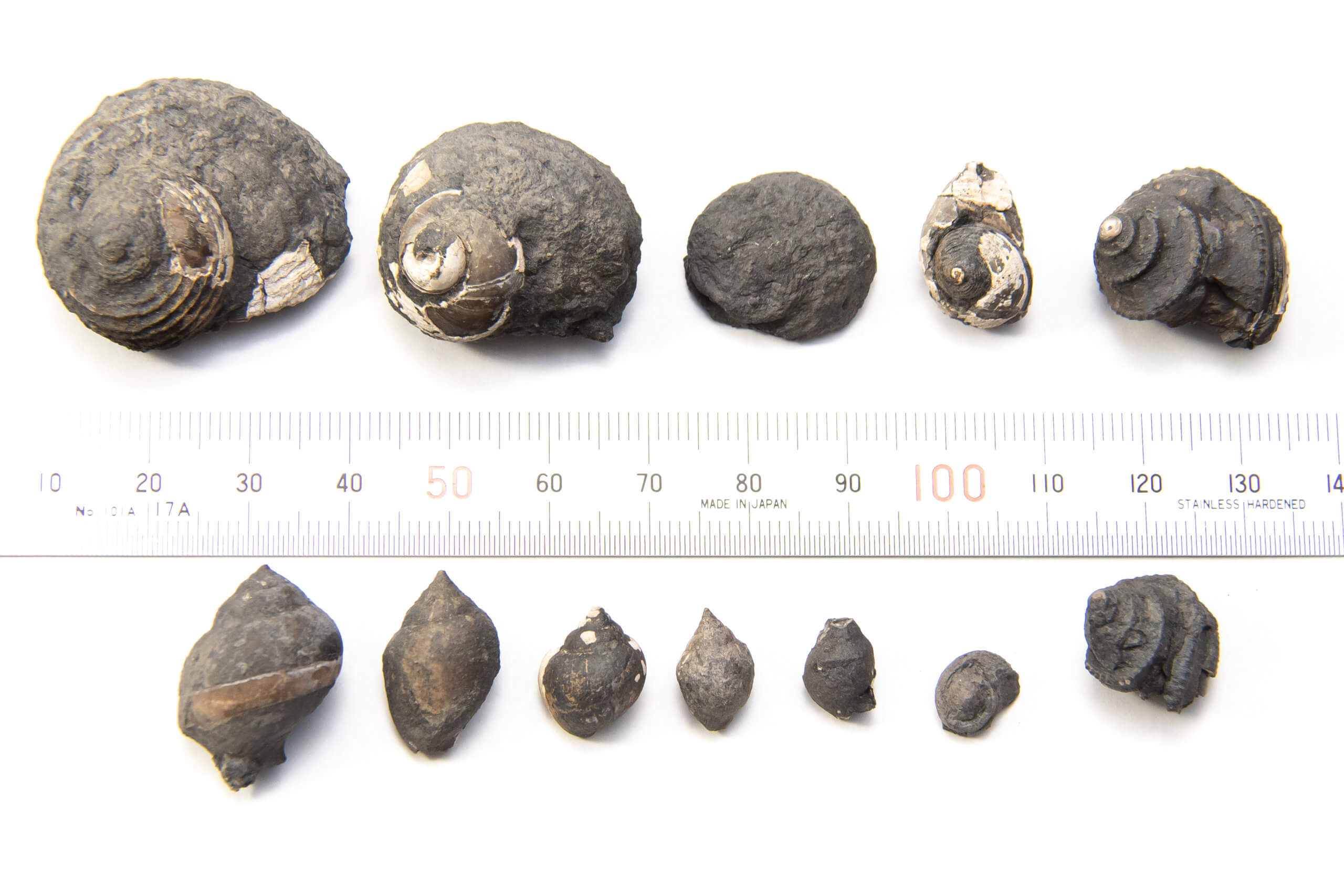 Gastropods from Pine Creek Limestone