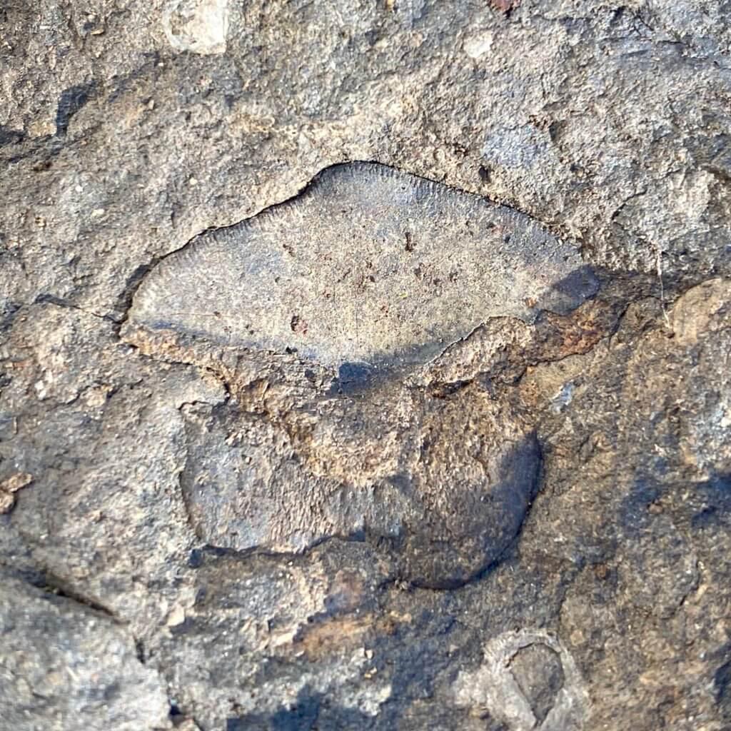 Petalodus Tooth in Brush Creek Limestone