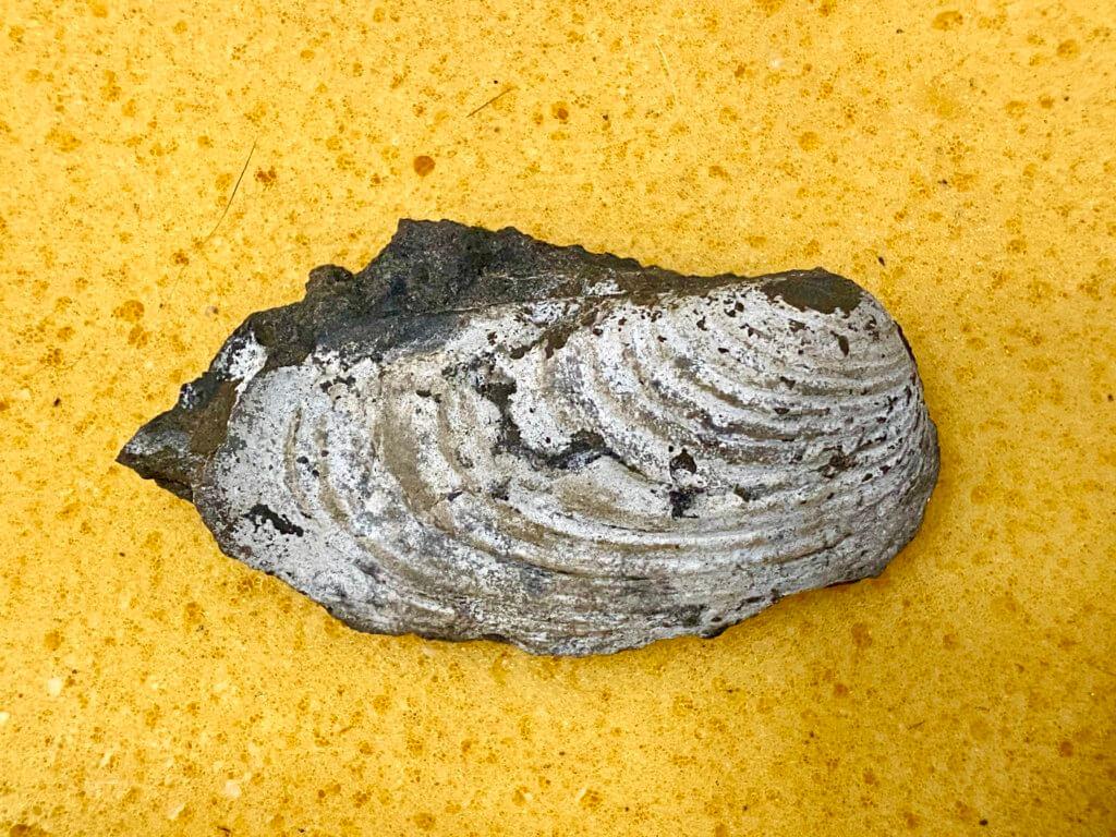 Wilkingia specimen CG-0051