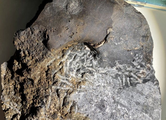 Fossil Cephalopod