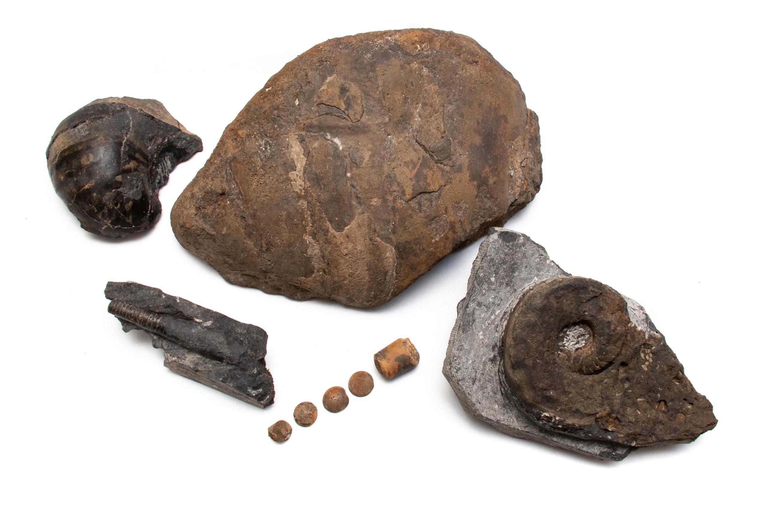 Metacoceras, Solenochilus and Pseudorthoceras, Mooreoceras and Brachycycloceras.