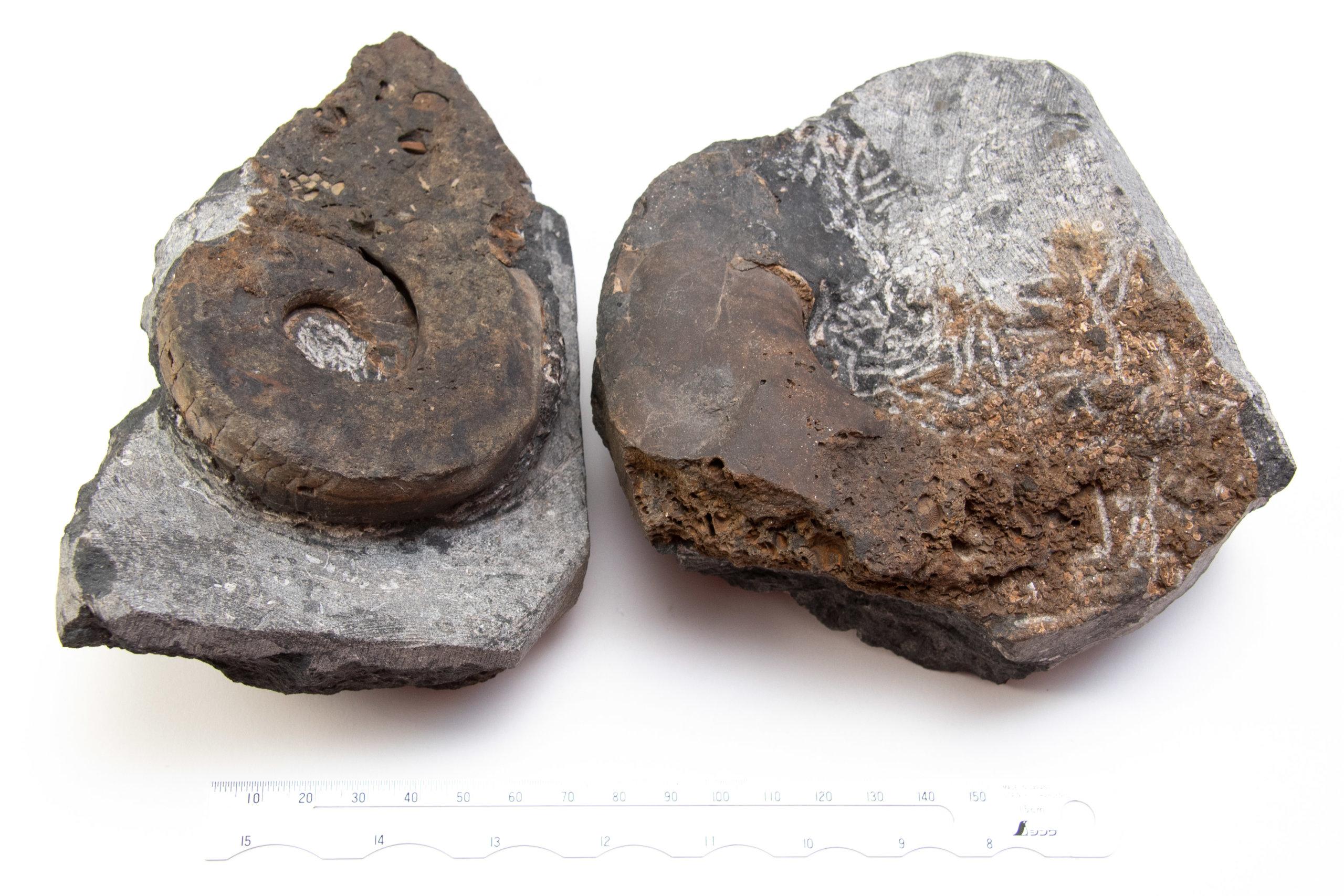 domatoceras-cg-0068-vs-metacoceras-cg-00