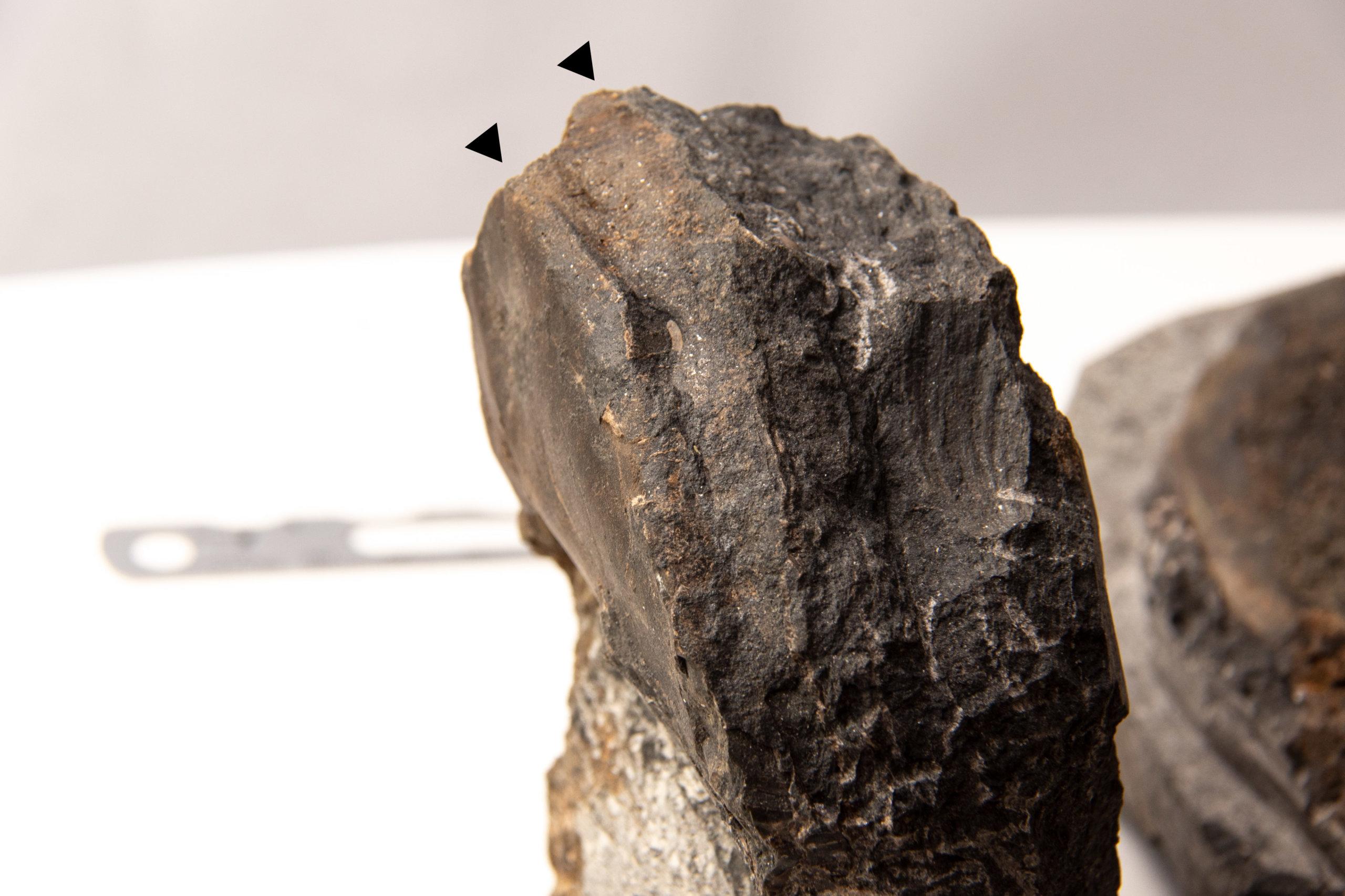 domatoceras-venter-ridges-cg-0068-scaled
