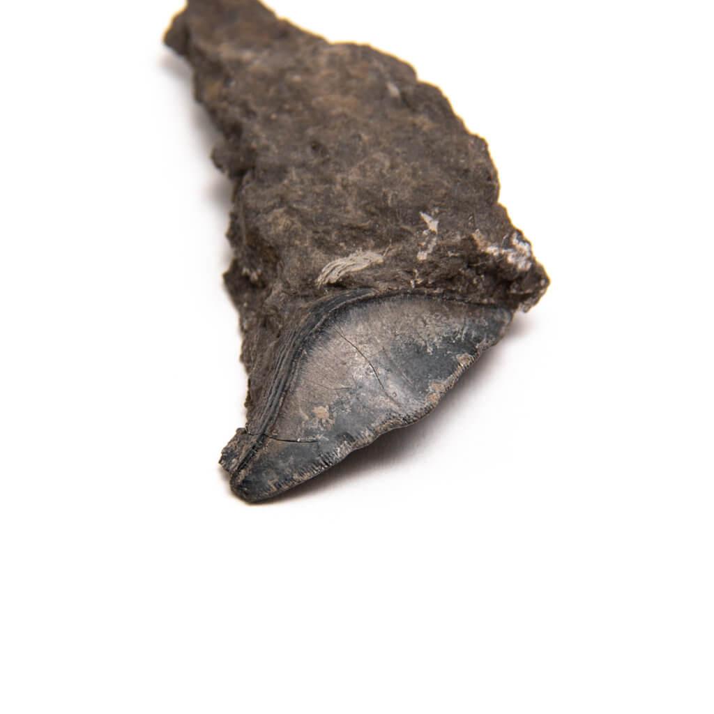 Petalodus ohioensis from the Pine Creek Limestone