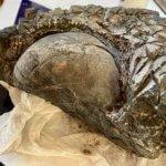 Solenochilus Fossil Specimen
