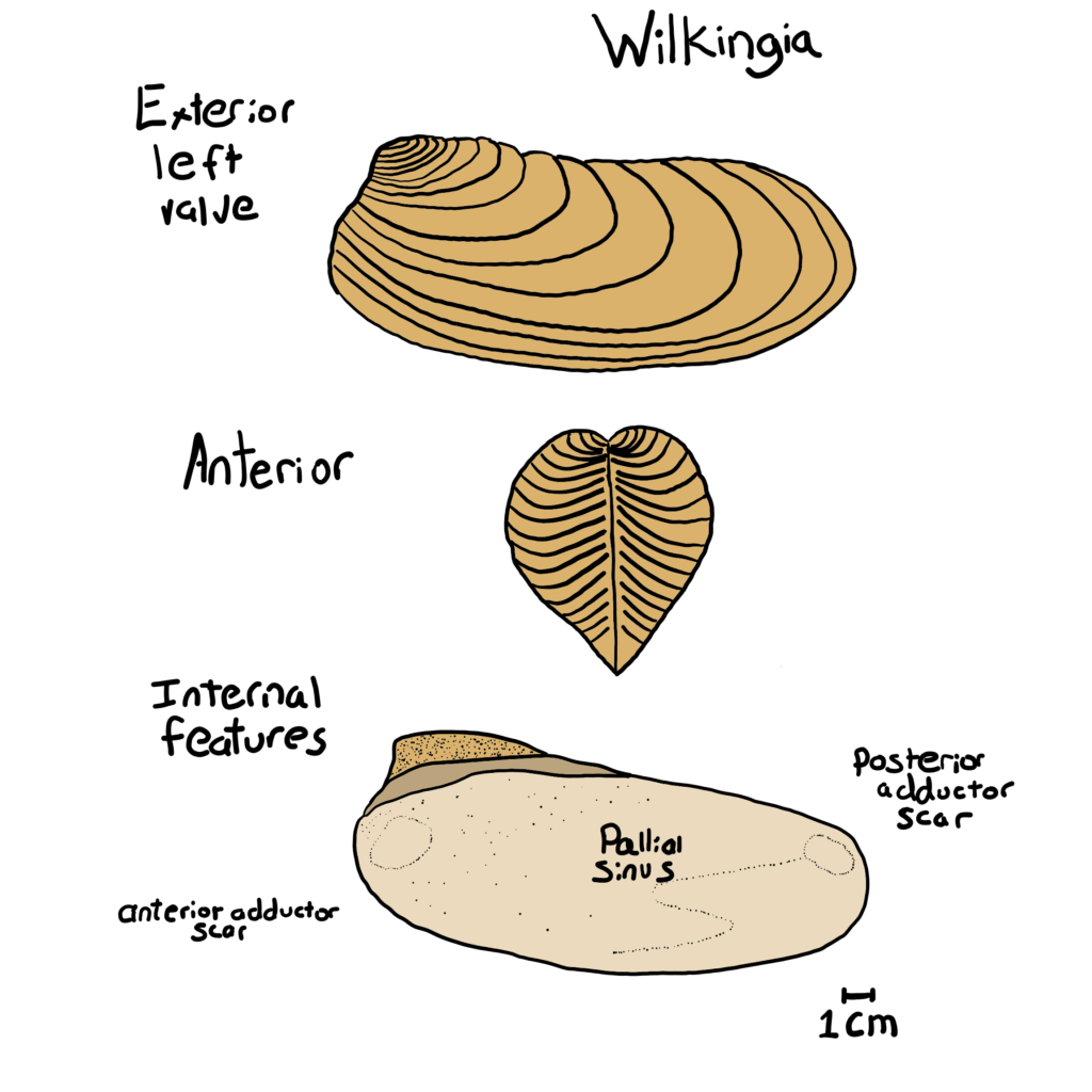 Wilkingia Morphological features