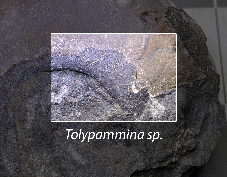 Tolypammina sp