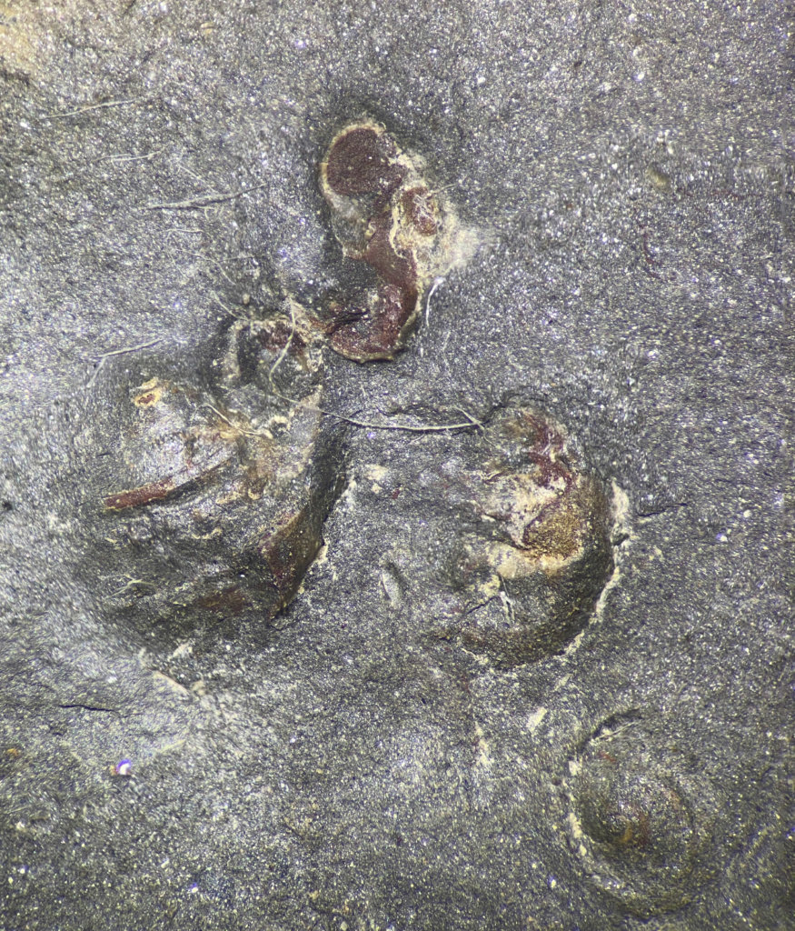 A group of gastropods buried in the sediment at the top of the specimen.