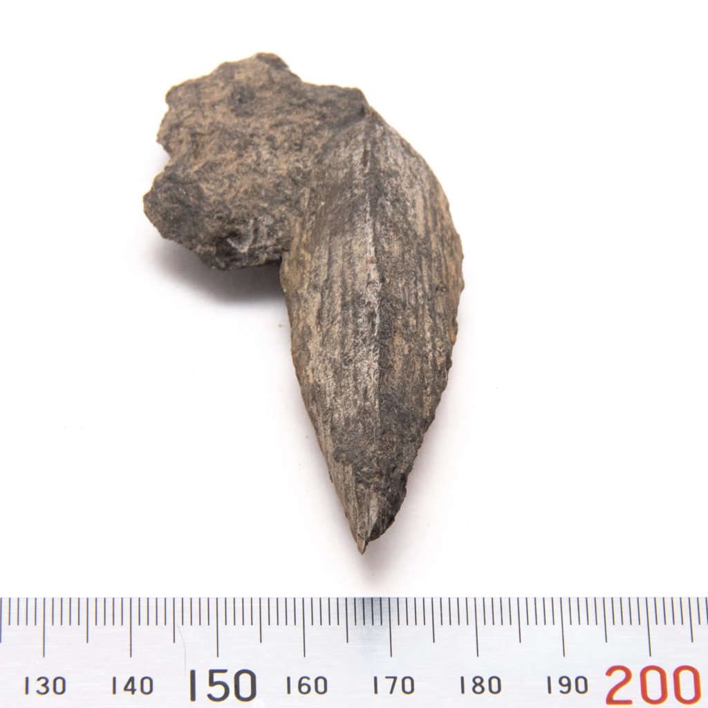 Wilkingia, ventral margin with metric scale