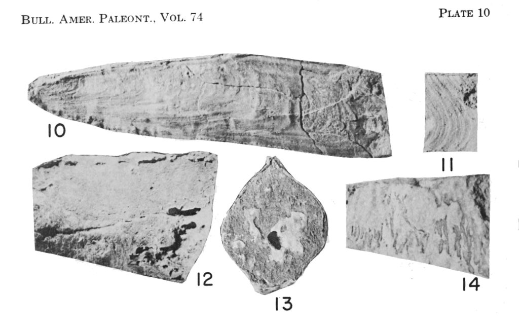 Meekopinna and Aviculopinna, on plate 10.