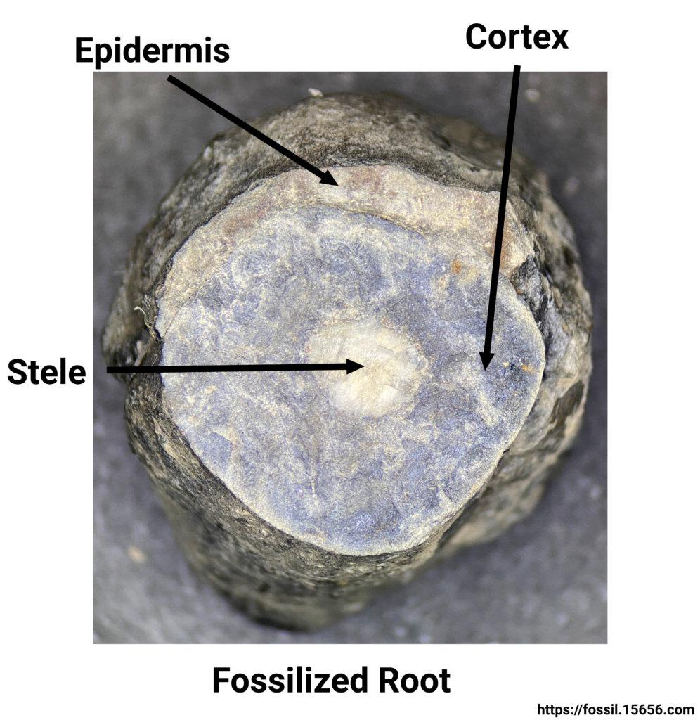 Petrified taproot anatomy.