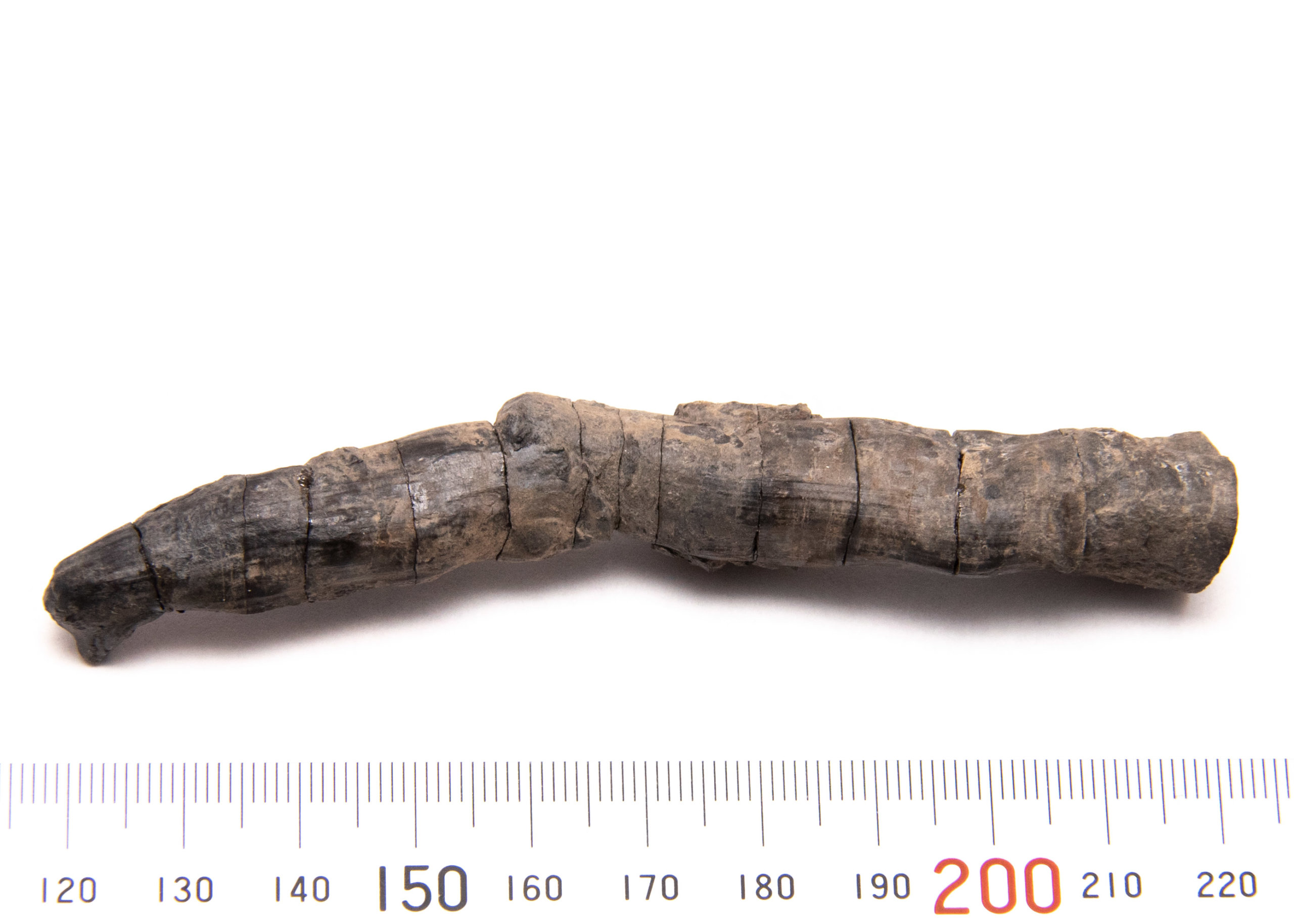 CG-0152, Fossil taproot. Rearticulated.