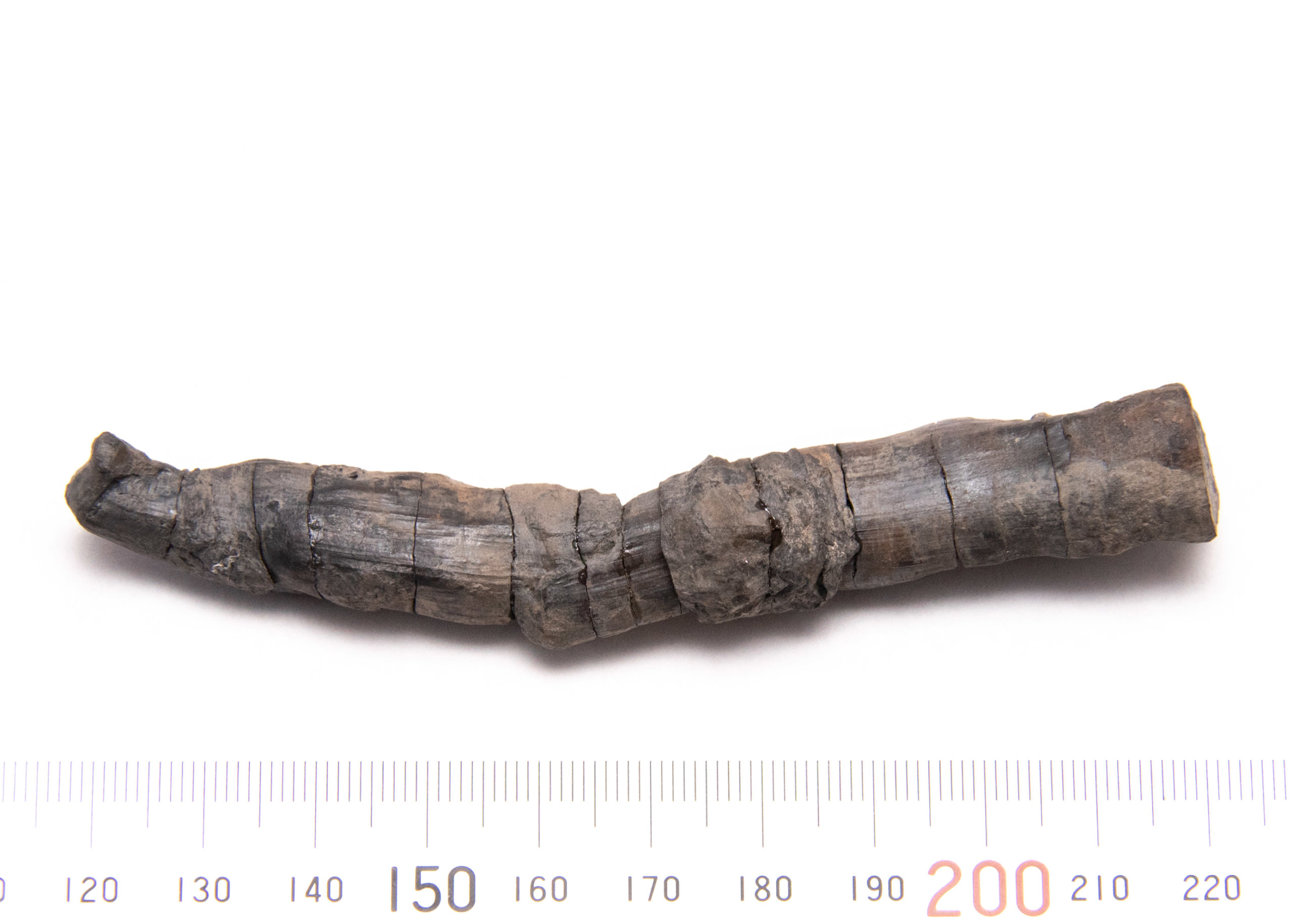 CG-0152, Petrified taproot. Rearticulated. Opposite view.