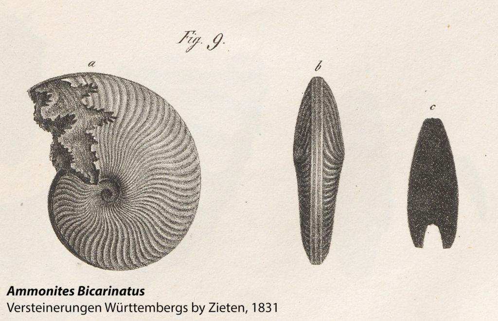Figure 9, Ammonites Bicarinatus, from Versteinerungen Württembergs by Zieten