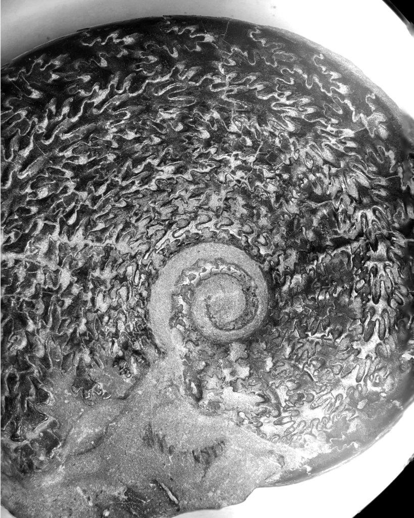 Osperlioceras bicarinatum, microscopic view.