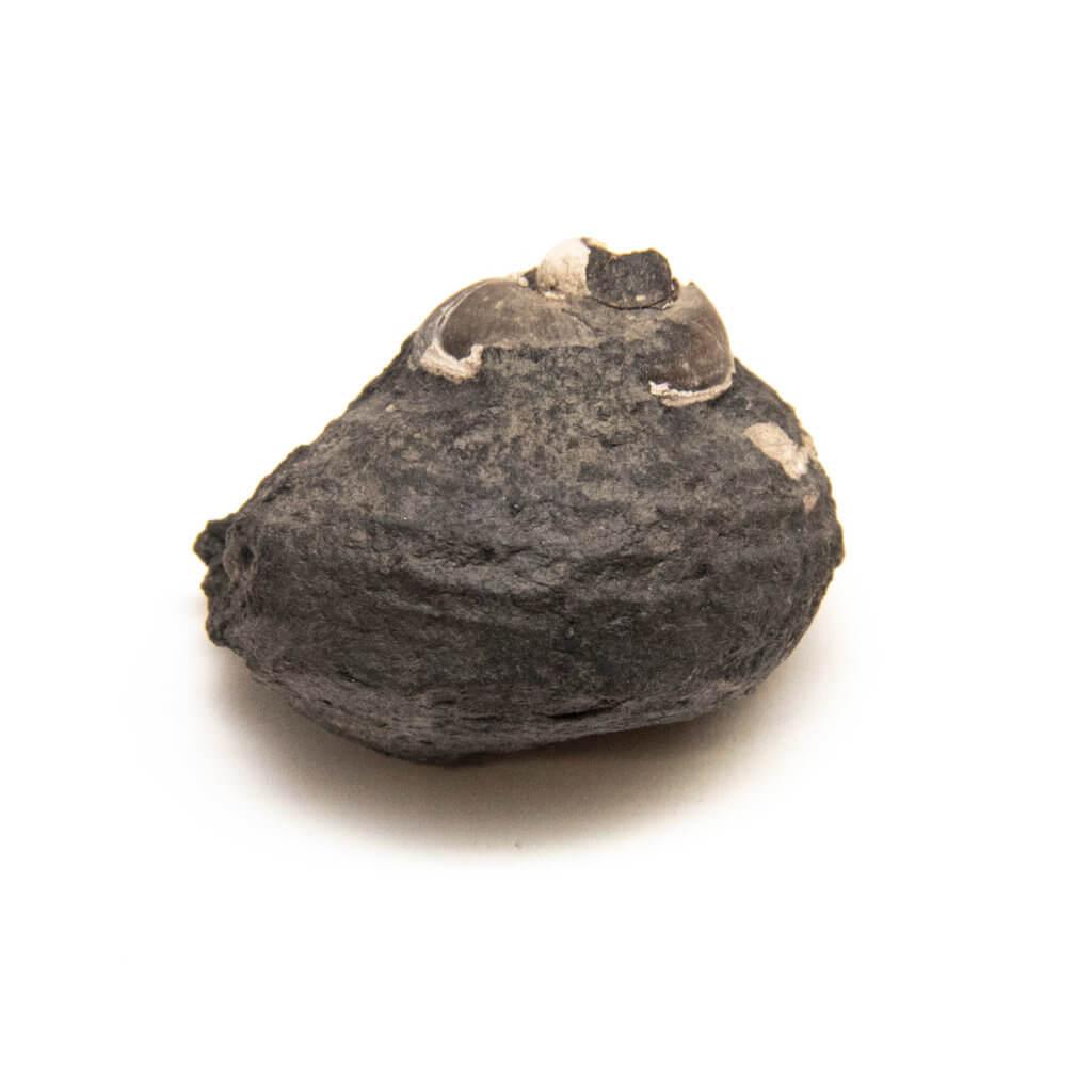 Shansiella carbonaria, gastropod fossil