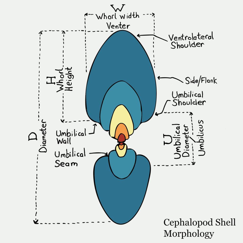 Cephalopod Shell Morphology