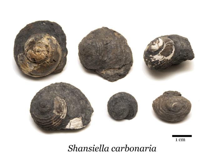 Shansiella carbonaria group, gastropod fossil