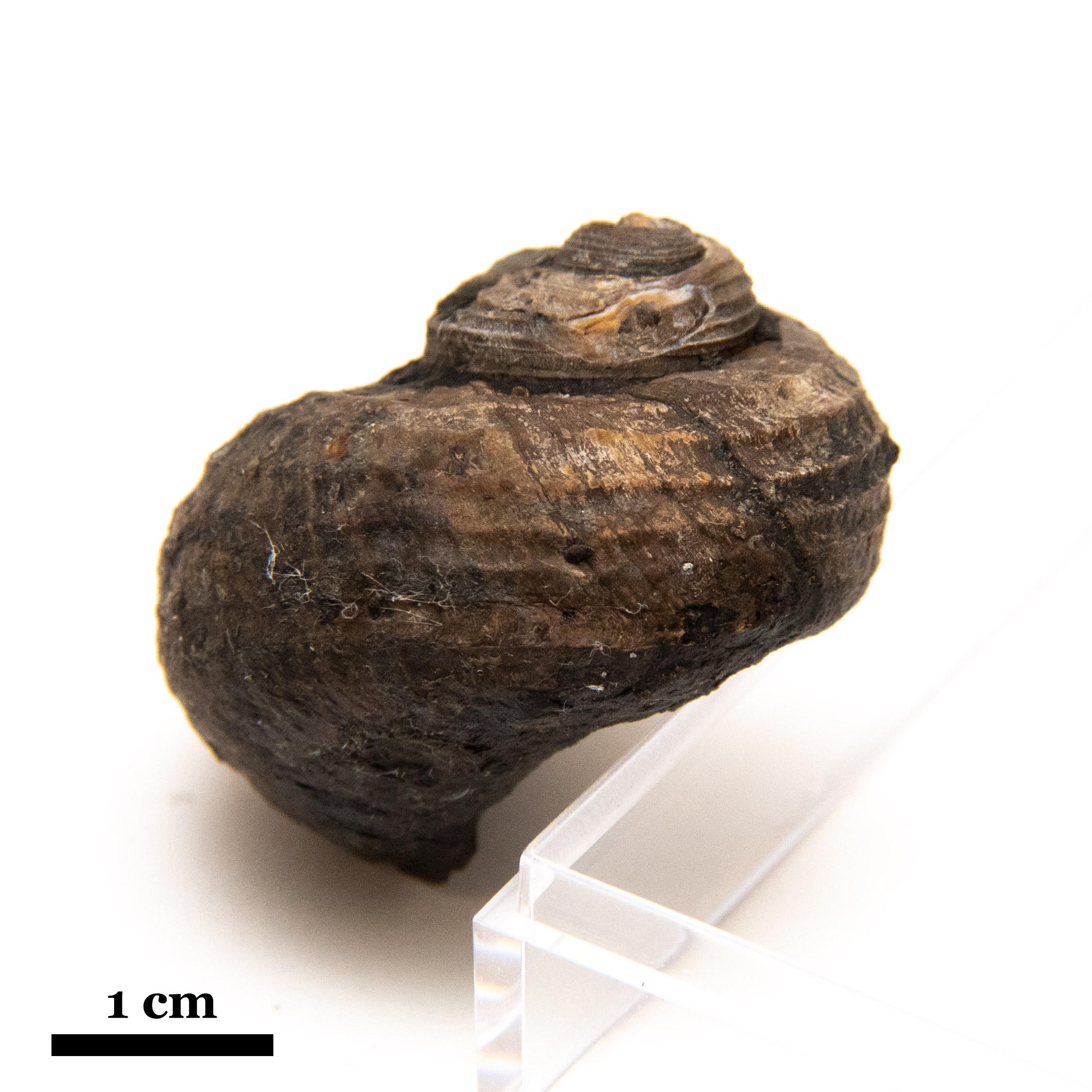 Shansiella carbonaria