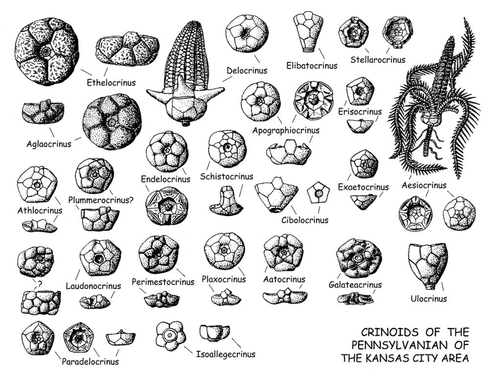 Crinoids of the Pennsylvanian of the Kansas City area