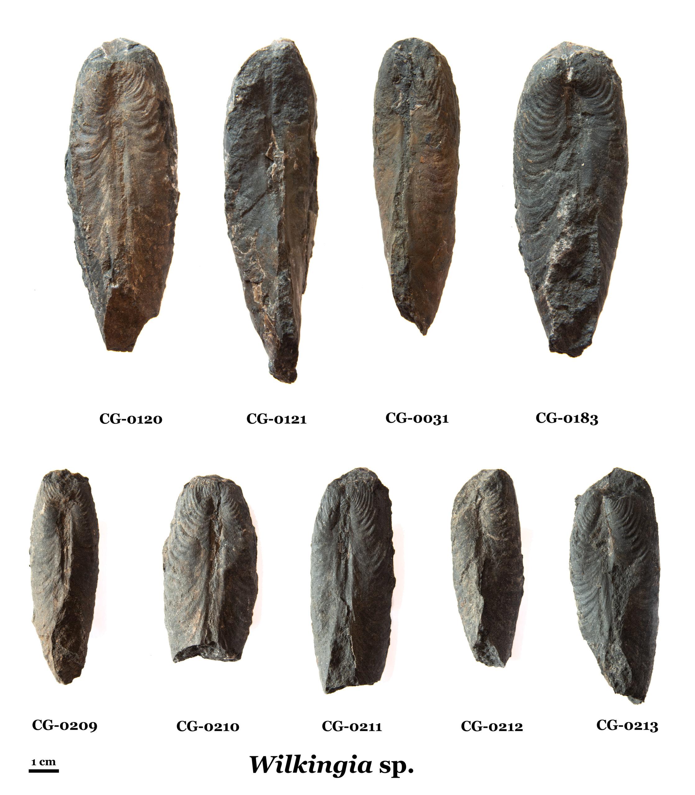 Wilkingia. Plate of 9 specimens.