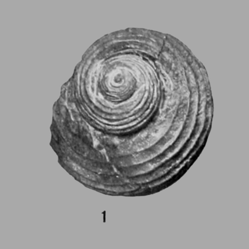 Pleurotamaria carbonaria as photograped by Percy Raymond. A specimen from the Brush Creek limestone of Donohoe, PA.