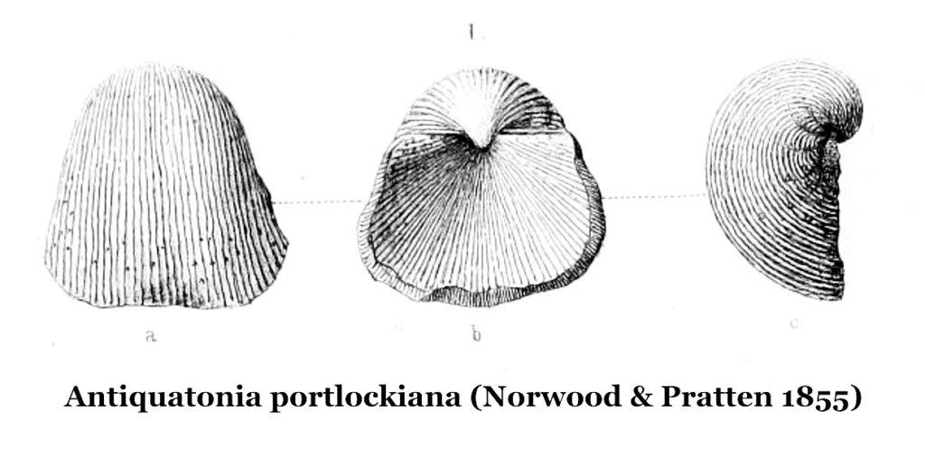 Antiquatonia portlockiana