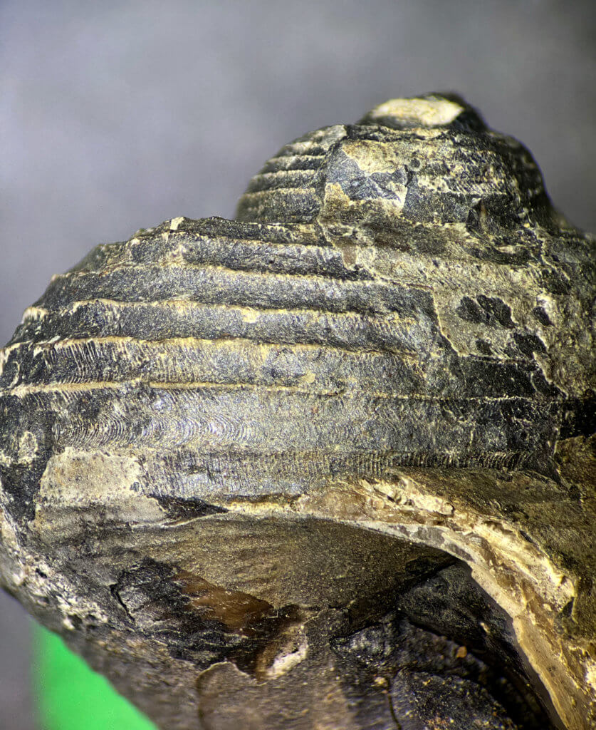 Shansiella carbonaria, outer shell detail.