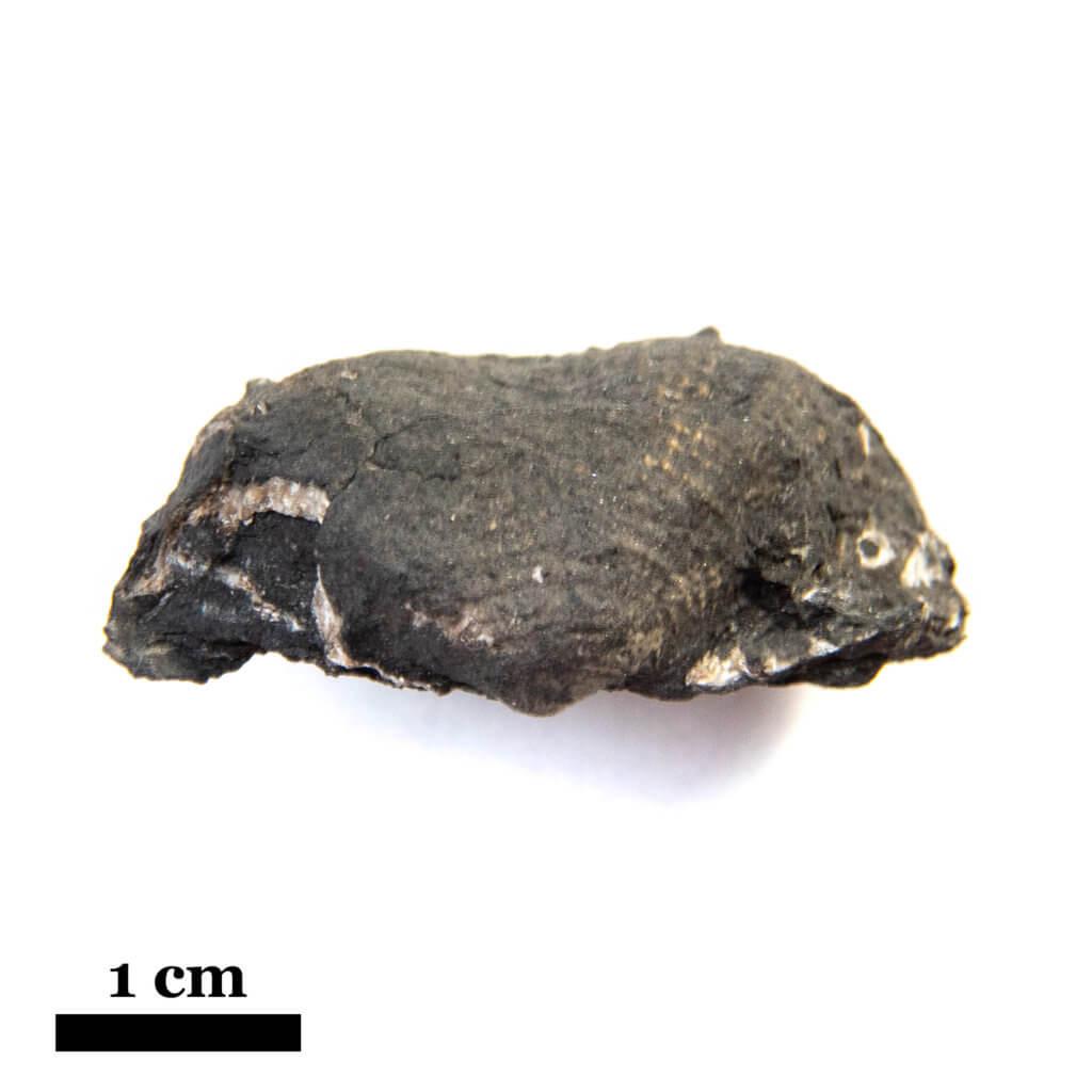 Antiquatonia portlockiana, CG-0223